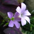 オキザリス・テトラヒラ(紫の舞)