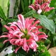 サンゴバナ(珊瑚花)