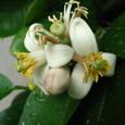 ビックレモンの花