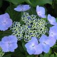 ガクアジサイ(額紫陽花)