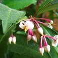 マンリョウ(万両)の花