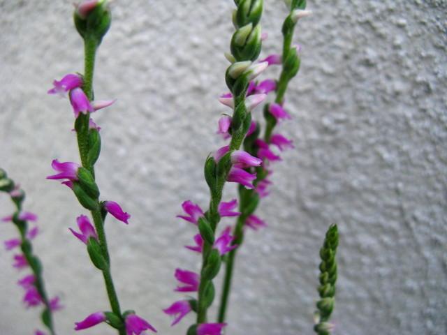 ネジバナ(捩花)