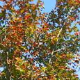 ナツツバキ(夏椿)の紅葉