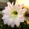 サボテンの花(丸型種)