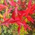 ニワナナカマド(庭七竈)の紅葉