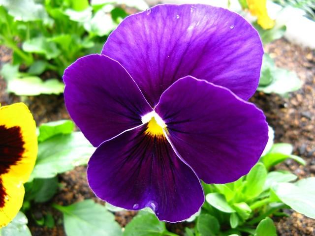 パンジー・紫