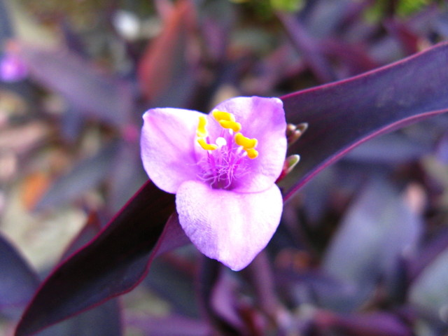 ムラサキゴテン(紫御殿)