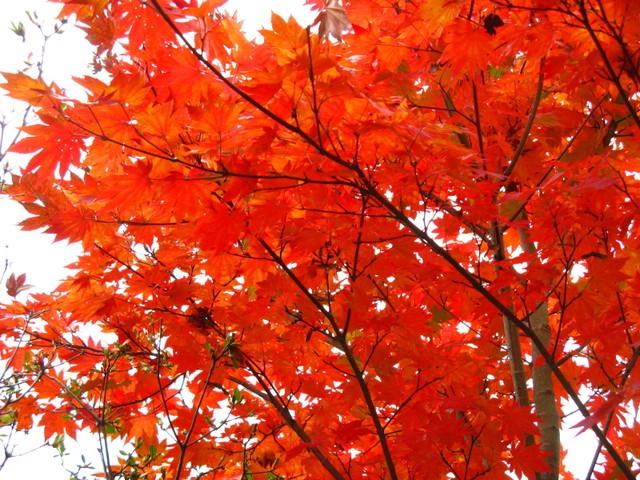 カエデ(楓)の紅葉