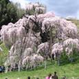 タキザクラ(三春の滝桜)