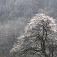 ウメ(梅)の大木の花