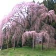シダレザクラ(合戦場の桜)