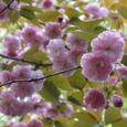 ヤエザクラ(八重桜)