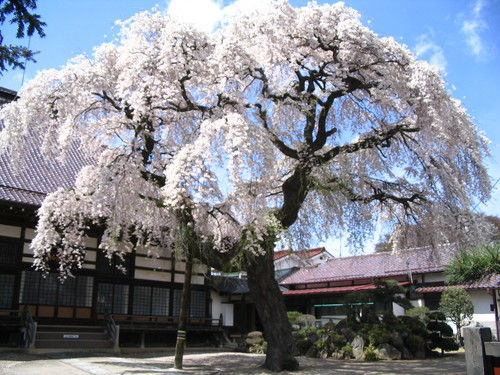 シダレザクラ(相応寺)