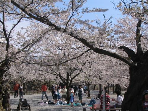 ソメイヨシノ(鶴ヶ城公園)