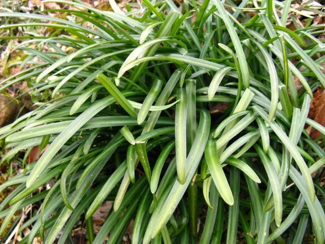 ヒガンバナ(彼岸花)の葉