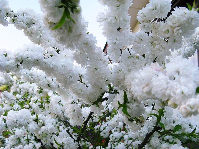 ニワザクラ(庭桜)