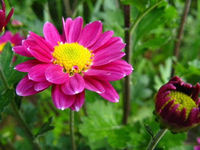 初夏に咲く 菊