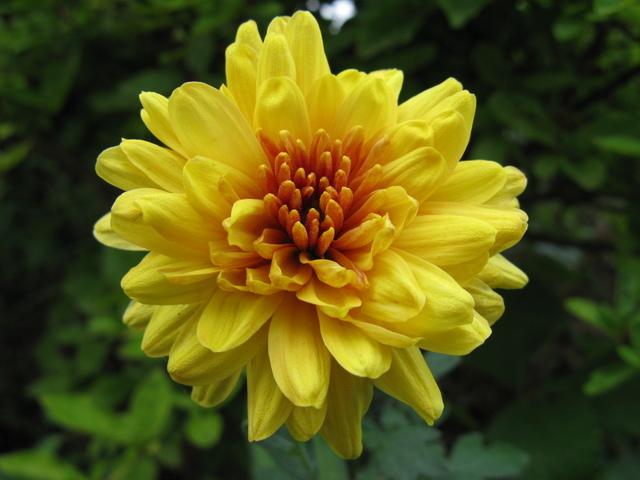 夏菊の黄色