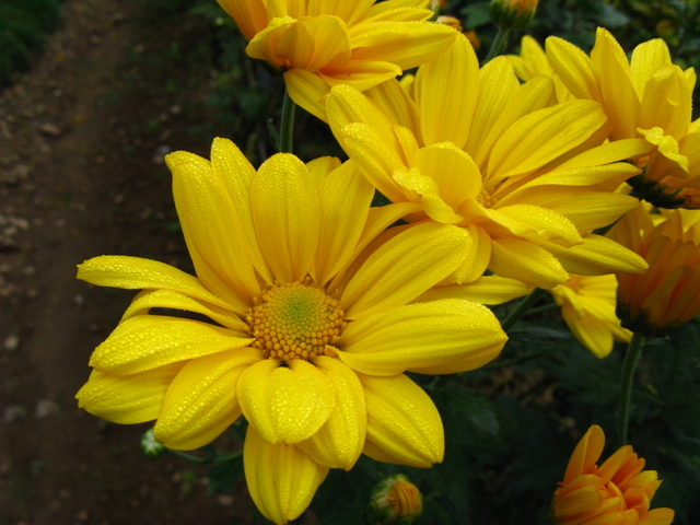 秋の黄色い菊