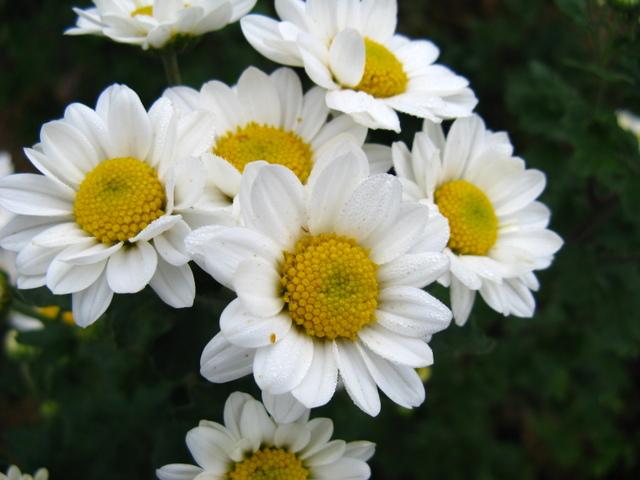 秋彼岸のころの菊