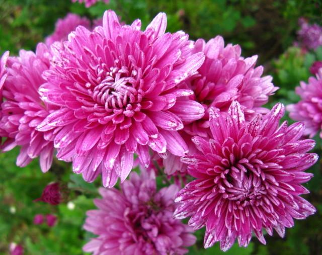 秋のころの菊