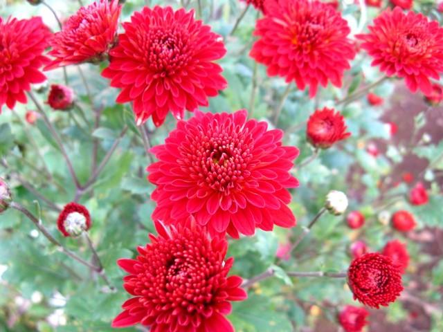 晩秋の小菊