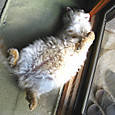 仰向けに寝る猫