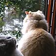 外を眺めるピー