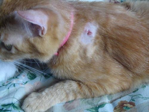 ミーの避妊手術の傷跡