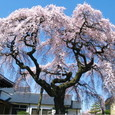 相応寺の枝垂桜