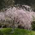 Img_0883 鏡ヶ池の枝垂桜