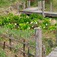 Img_0887 鏡ヶ池の水芭蕉