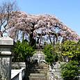日輪時の枝垂れ桜
