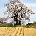 塩ノ崎大桜(シオノサキノオオザクラ)
