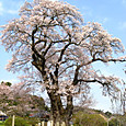 塩ノ崎大桜(シオノサキノオオザクラ)