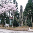 虚空蔵尊の馬場桜