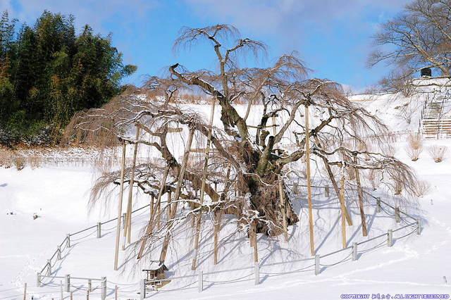 冬の三春滝桜