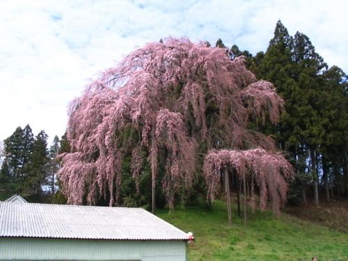 Img_0760 合戦場の桜
