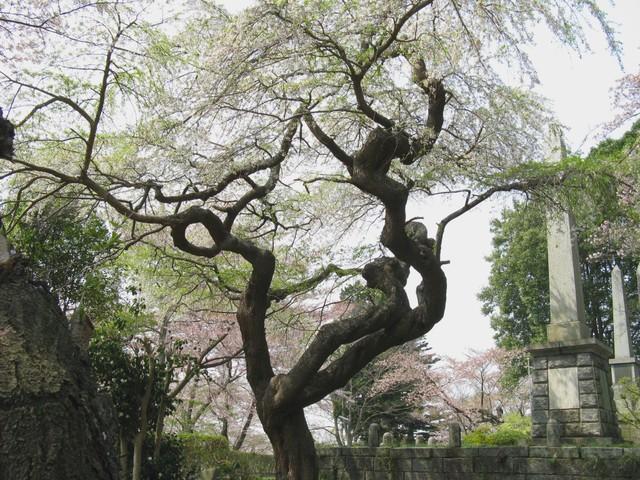 Img_0898 枝垂山桜
