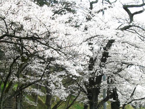 Img_1384 お城山の桜