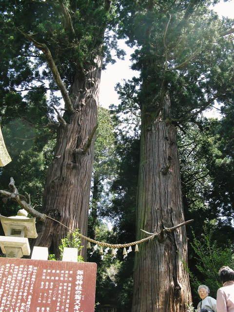 夏井の大杉