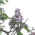 キリ(桐)の花