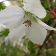 キイチゴ(木苺)の花
