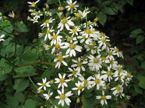 ヤマシラギク(山白菊)