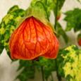 アブチロン・トンプソニー(黄斑入猩猩花)