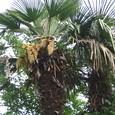 シュロ(棕櫚)の雌雄木
