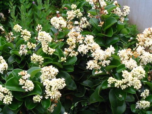 コクタン(黒檀)の花