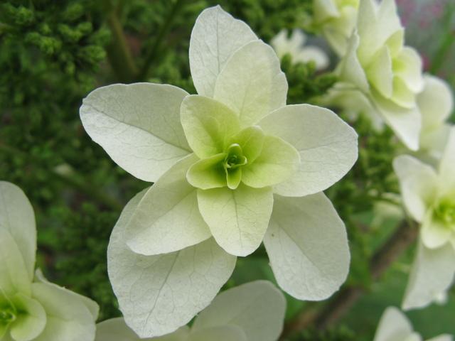 カシワバアジサイ(柏葉紫陽花)