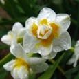 早咲き小型水仙