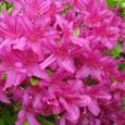 小花の紫つつじ